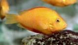 Этроплюс пятнистый - оранжевый