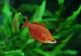 Глоссолепис красный (Атерина красная)