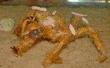 Краб декоратор (Краб-паук) M