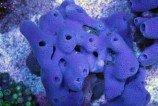 Губка халихора синяя