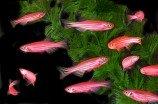 Данио рерио флуоресцентная (Glo Fish)
