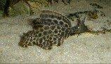 Плекостомус (Сомик-нижнерот обыкновенный)
