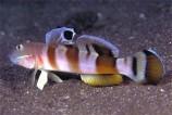 Бычок-элакатинус тигровый M