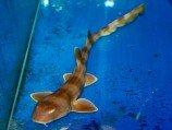 Акула кошачья коричневополосая S