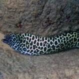 Гимноторакс леопардовый (Ячеистая мурена) XL