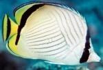 Бабочка окаймленная (разукрашенная, пиктус, вагабундус) S