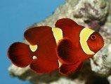 Клоун премнас желтополосый Красный желтополосый клоун M