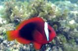 Клоун френатус томатный красный M