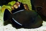 Спинорог-мелихт черный L