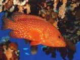 Групер красный коралловый L