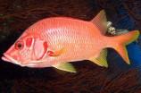 Рыба-белка L