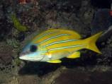 Луциан кашмирский (желто-синий) S