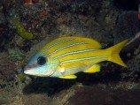 Луциан кашмирский (желто-синий) L