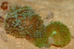 Дискоактиния флоридская (одиночная) M