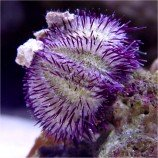 Еж литехинус фиолетовый M