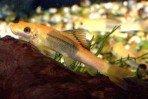 Гиринохейл сиамский двуцветный