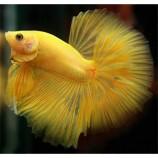 Петушок сиамский желтый - самец