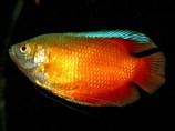 Лялиус неоновый красный - самец