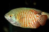 Лялиус коралловый - самец