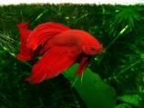 Петушок сиамский красный - самец