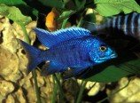 Аулонокара Ньяса - голубая