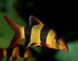 Боция-клоун (макраканта)