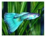 Гуппи - неон синий