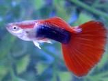 Гуппи - неон красный