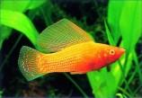 Моллинезия высокоплавничная оранжевая (Самцы)