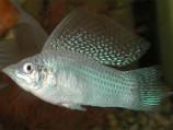 Моллинезия высокоплавничная серебряная (Самцы)