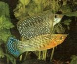 Моллинезия высокоплавничная зеленая (Самцы)
