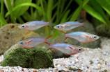 Оризиас неоновый (Рисовая рыбка Вовора)