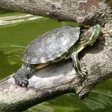 Красноухая черепаха S