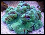 Велсофиллия (мозговик куполообразный)