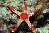 Звезда фромия элегантная