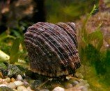 Улитка-водорослеед астрея (тюрбановая) M