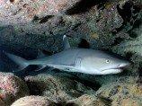 Акула белоперая рифовая