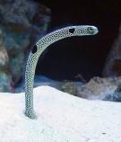 Гетероконгер пятнистый (Угорь леопардовый)
