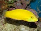 Тамарин желтый (хризус) M