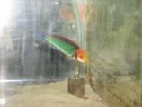 Циррилабрус солнечный красноголовый