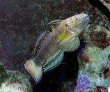 Бычок-амблигобиус фалена (Амблигобиус-пуля) M