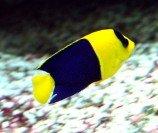 Центропиг сине-желтый L