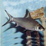 Бала акулий