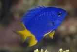 Хризиптера желто-голубая желтобрюхая M
