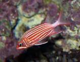 Рыба-белка M