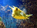Кузовок длиннорогий желтый (Рыба-корова) M