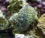 Улитка-водорослеед турбо колючая