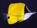Бабочка пинцет желтая L