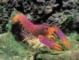 Омар рифовый красный