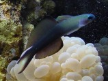Птерэлеотрис голубой M